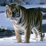 El Tigre de Nil